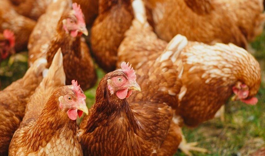 Informationen zur Geflügelpest